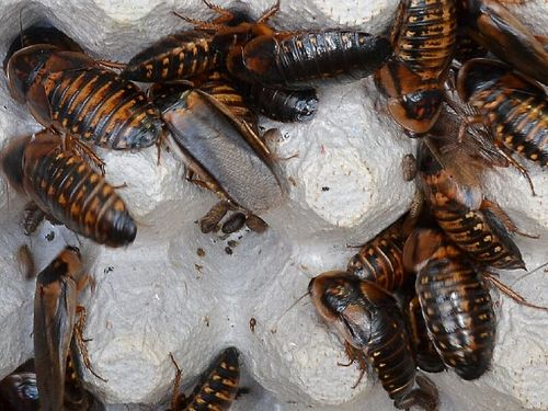 Adult Dubia Roaches
