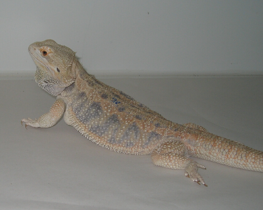 Belgium Hypo Dragon