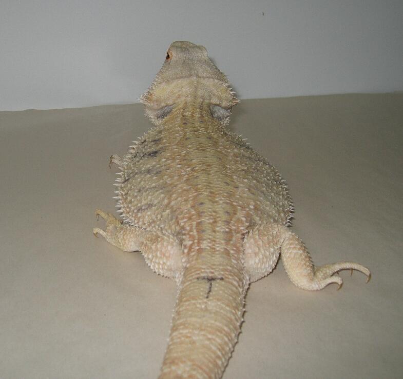 Hypomelanistic Dragon