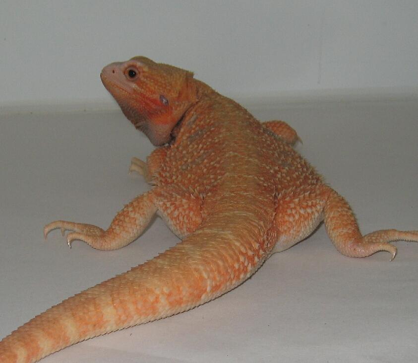 Red/Orange Hypo translucent