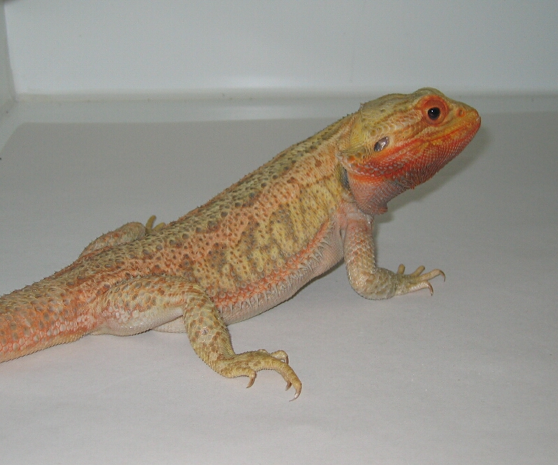 Red/Orange Hypotrans