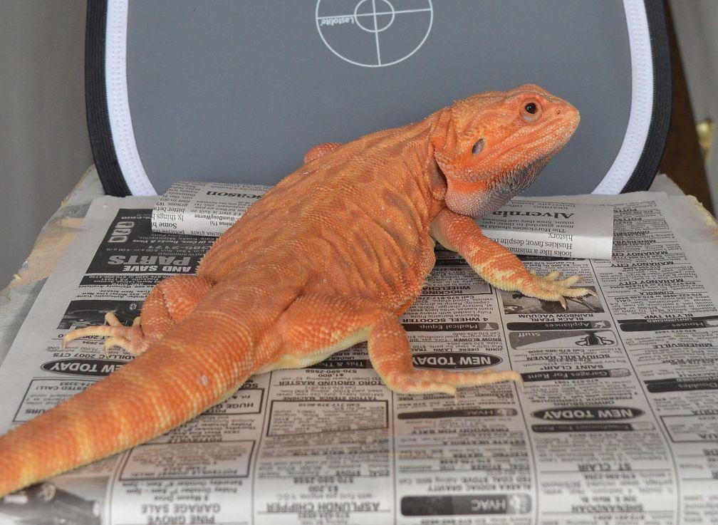Red/Orange Hypotrans Leatherback