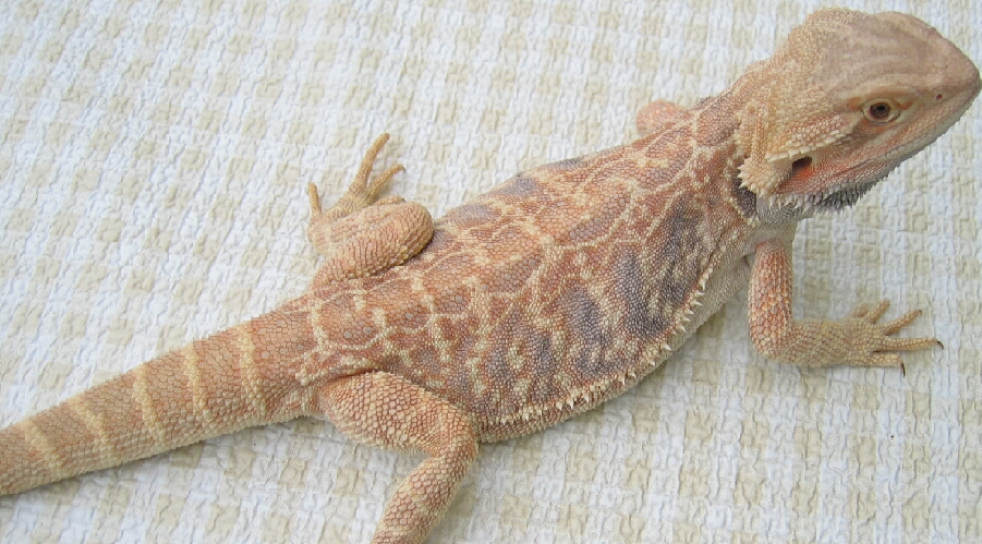 how to tell the gender of a baby bearded dragon