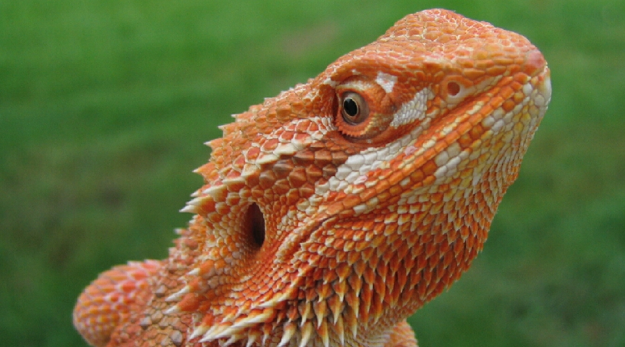 Red And Black Bearded Dragon